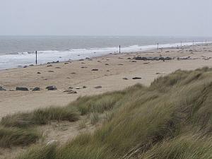 Horsey Gap Grey seals in the winter