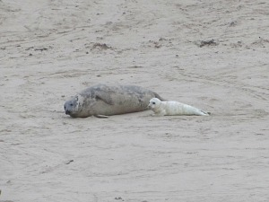 A Grey seal and her pup at Horsey Gap