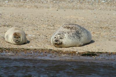 Large lazy seal!