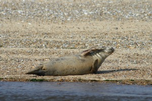 Beautiful Seal!