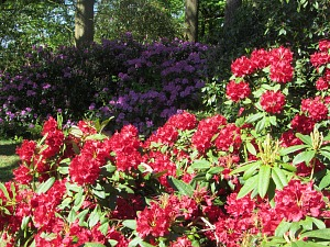 Magnificent rhododendrens at Sheringham Park