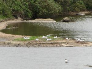 Snettisham Nesting Terns