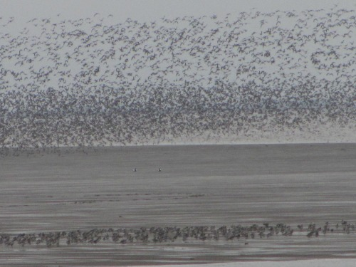 Snettisham knot and oyster catcher