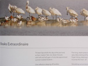 The spoonbills with their beaks like shoe horns