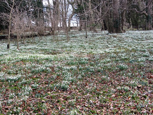 Carpets of snowdrops at Walsingham Priory