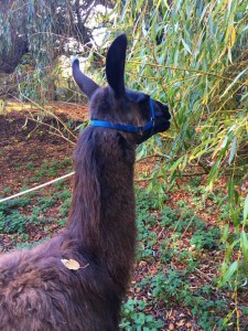 Bluebelle the Llama