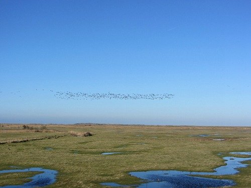 Brent geese over Deepdale Marshes, Norfolk