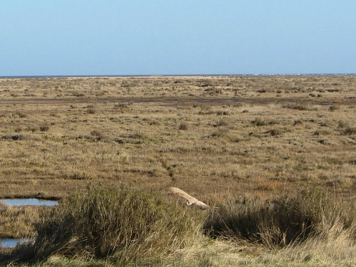 Barn owl near Stiffkey marshes