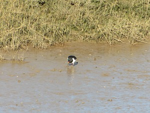 Oyster catchers in the creek at Burnham Overy Staithe