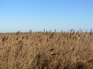 Reed beds at Brancaster