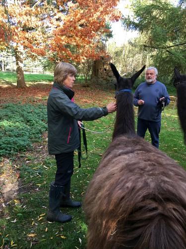 Llama walking experience