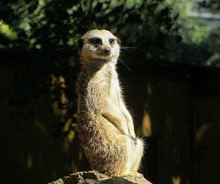A meerkat at Banham Zoo