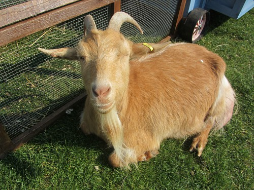 One of the goats you can pet at Church Farm Rare Breeds Centre, Norfolk