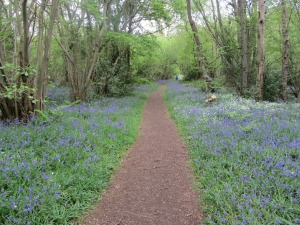 Foxley Wood bluebell walk