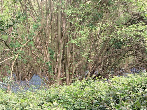 The ancient woods at Foxley
