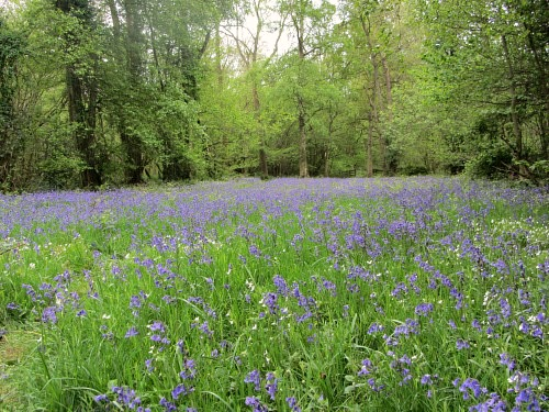 Foxley Wood is covered in a carpet of bluebells