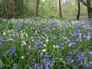 Beautiful bluebells interspersed with white