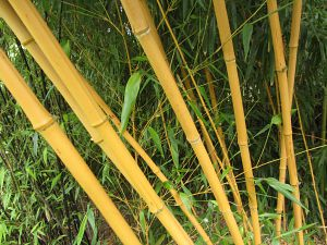 Norfolk Bamboo