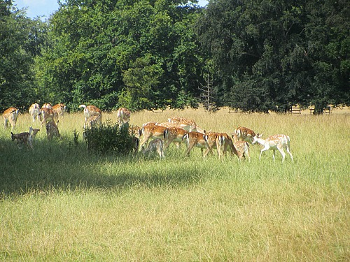 The Fallow Deer at Holkham