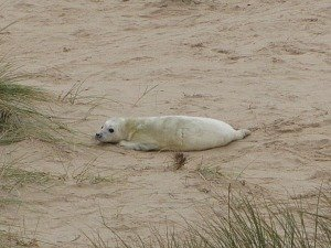 A beautiful seal pup on Horsey beach