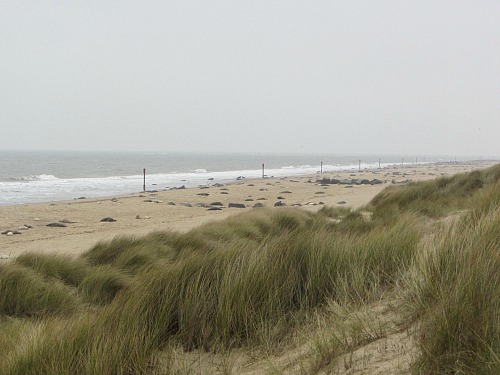 Lots of Grey seals at Horsey beach, Norfolk