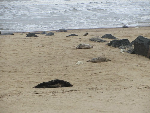 Seals everywhere on Horsey beach, East Norfolk