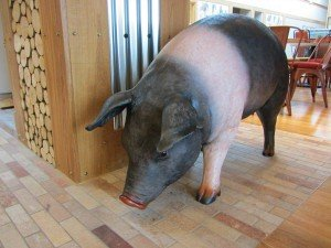 A model pig in the lounge area at Norfolk Woods