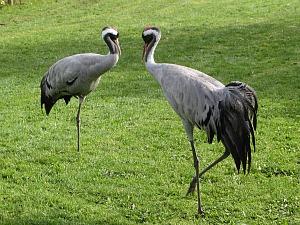 Pensthorpe Manchurian Cranes
