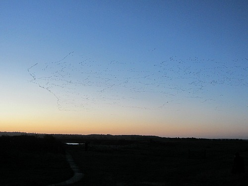The Pink Footed Geese