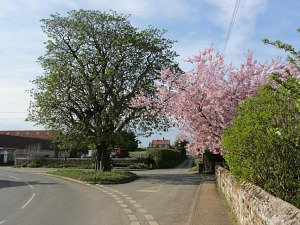 The blossom in Ringstead