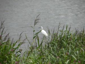 Egret at RSPB Snettisham Reserve