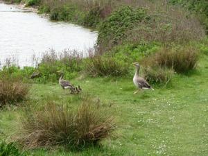Greylag geese at Snettisham RSPB