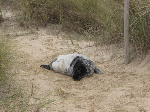 A seal pup on the path at Horsey beach