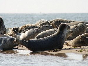 See the seals in Norfolk