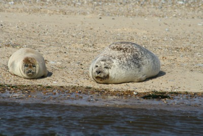 Large lazy seal!