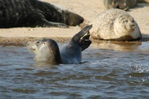 Seal showing off!