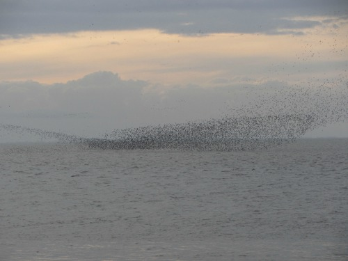The wader spectacular which you can see at RSPB Snettisham, a short walk from the beach