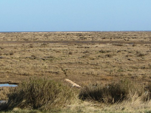 An owl flying over the marshes between Wells and Stiffkey