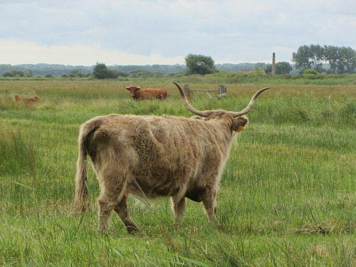 Highland cattle along the Meadow Trail at Strumpshaw Fen