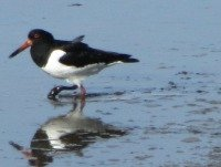 Oyster Catcher!